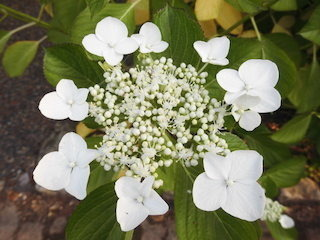 ガクアジサイの白い花.jpg